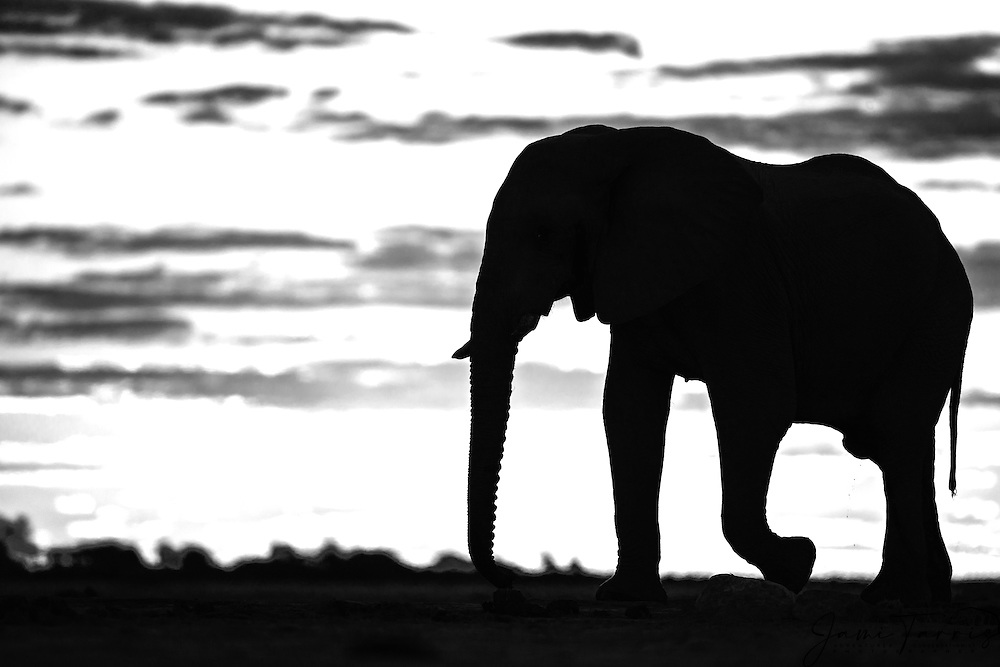 A black and white silhouette of a bachelor elephant bull (Loxodonta africana) walking against a golden African sky at sunset, Nxai Pan, Botswana, Africa