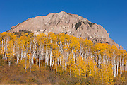 Golden aspen trees at the peak of fall color stand at the base of Marcellina Mountain, a 11,353 foot (3461 meter) peak in Gunnison County, Colorado.