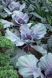 Brassica oleracea Capitata Group 'Red Jewel' AGM - Cabbage 'Red Jewel'