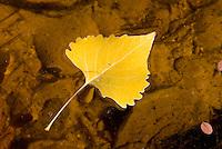 Cottonwood leaf floating in water Zion National Park Utah USA