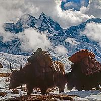 Yaks carry  loads for trekkers in  Khumbu region of Nepal's Himalaya.