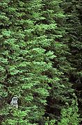 Great gray owl (Strix nebulosa nebulosa) in black spruce tree.<br />The Pas<br />Manitoba<br />Canada