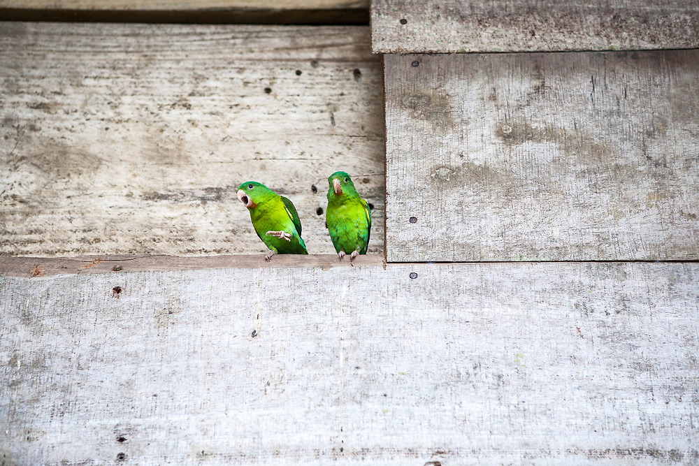 An Orange-chinned Parakeet protects it's perch and mate in the town of Boca de Sabalo (Sambu), Panama.