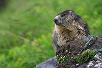 Alpine Marmot (Marmota marmota) sitting at the entrance of its shelter at cloudy afternoon. Hohe Tauern National Park, Carinthia, Austria