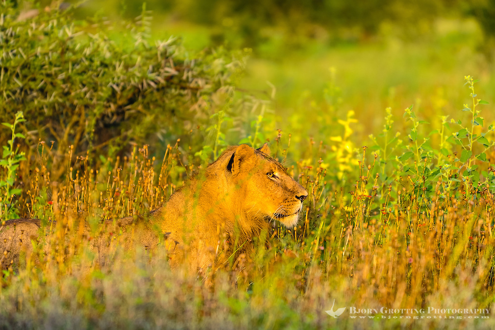 Lioness in the morning sun in Kruger National Park, the largest game reserve in South Africa.