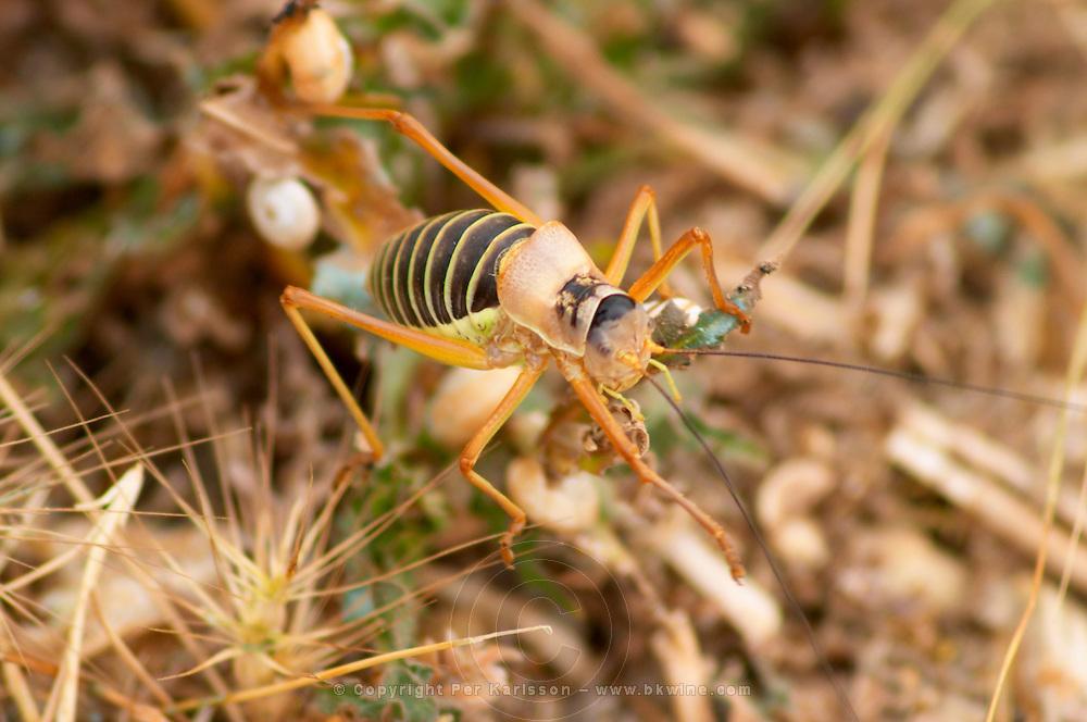 Prieure de St Jean de Bebian. Pezenas region. Languedoc. Grasshopper. France. Europe. Vineyard.