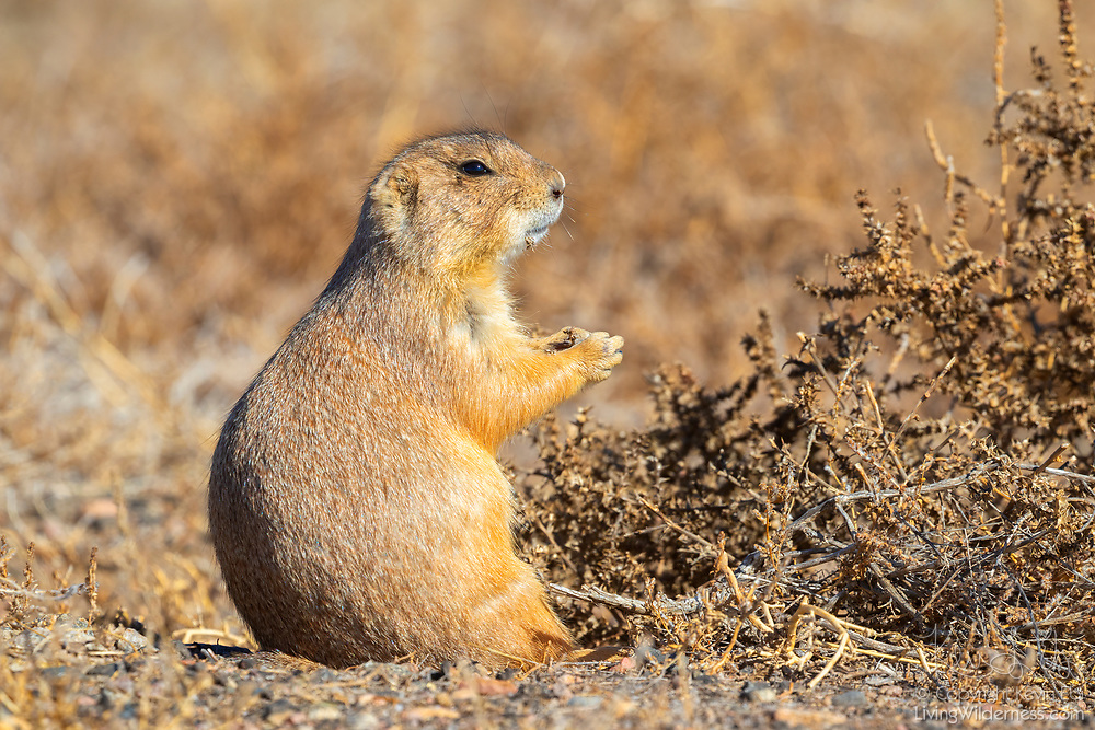 A black-tailed prairie dog (Cynomys ludovicianus) feeds on grass in the Rocky Mountain Arsenal National Wildlife Refuge near Denver, Colorado. Black-tailed prairie dogs are native to North American grasslands although their populations are well below historical levels. Rocky Mountain Arsenal National Wildlife Refuge was established in 1992 on the site of a former U.S. Army chemical weapons manufacturing facility.