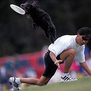 Sammy leaps for Frisbee as trainer Benny Wong watches during the Dog Chow Incredible Dog Challenge competition in San Diego, California.
