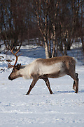 Reindeer in the snow in arctic landscape at Kvaløysletta, Kvaloya Island, Tromso in Arctic Circle Northern Norway