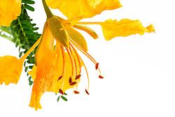 Yellow Poinciana#15