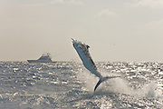 Late afternoon St. Thomas Blue Marlin jumping in the glare with a sportfishing boat in the background.