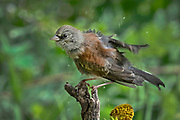 Juvenile dark-eyed junco shakes off the water after a bath in the spring, Sandia Mountains, New Mexico