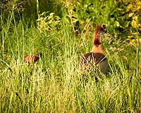 Egyptian Goose. Zambezi River Wildlife Tour. Image taken with a Nikon 1 V3 camera and  70-300 mm VR lens