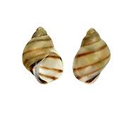 Banded Chink Shell - Lacuna vincta