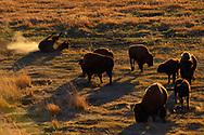 American Bison, Bison bison, Yellowstone National Park, Wyoming, USA