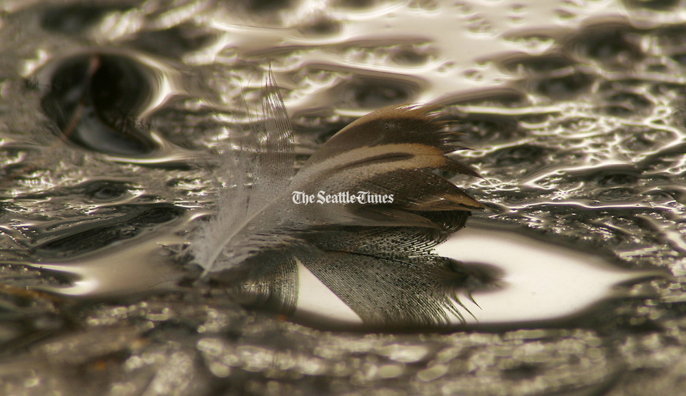Near Foster Island in the Washington Park Arboretum a feather rests on a skin of ice rimming Lake Washington. (Tom Reese / The Seattle Times)