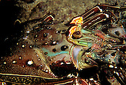 """Close up of a Spiny Lobster near Coiba Island, Panama. The former penal colony is now  a """"permit only"""" area to visit and explore. In 2005 it became a UNESCO World Heritage Site due to its remarkable proliferance of rare corals and abundance of marine life."""