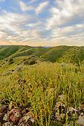 Fiddlenecks in Morning, Panoche Hills Wilderness Study Area, Fresno County, California