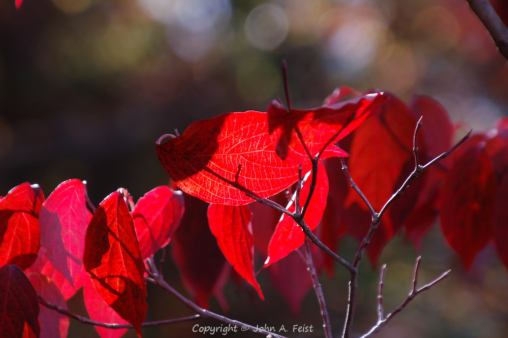 I was lucky to be in the right place at the right time.  These leaves gave a unique red color for just a few minutes.  Princeton Nursery, Princeton, NJ