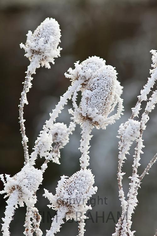 Winter scene hoar frost on teasel seed heads in The Cotswolds, UK