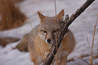 A captive Fox from the Calgary Zoo.  I've been to the zoo many times but this is the first time I've ever seen this elusive canid...©2009, Sean Phillips.http://www.Sean-Phillips.com