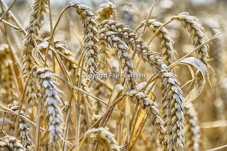 Nederland, Millingen, 7-8-2017 Een veld met tarwe, graan. Tarweveld, graanveld wordt door een combine geoogst.  Detail,graanstengels,associatie Foto: Flip Franssen