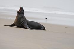 Sandfly Point, Otago Peninsula New Zealand, Sea Lion Phocarctos hookeri