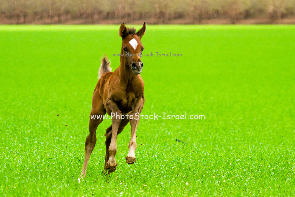 Chestnut Arabian Foal The Arabian or Arab horse is a breed of horse that originated on the Arabian Peninsula. With a distinctive head shape and high tail carriage, The Arabian developed in a desert climate and was prized by the nomadic Bedouin people, The Arabian also developed the high spirit and alertness needed in a horse used for raiding and war.