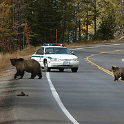 Grizzly Bear, (Ursus horribilis) A female mother and her cub of the year cross the road in front of a rangers car in Yellowstone National Park. Fall.
