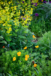 Self-sown Welsh poppies with nigella, Allium 'Purple Sensation' and Smyrnium perfoliatum<br /> - Perfoliate alexanders