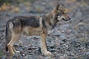Wolf, Canis lupus, pup, autumn, on river gravel, alpine tundra, Grant Creek pack, Denali National Park, Alaska, horizontal, wild