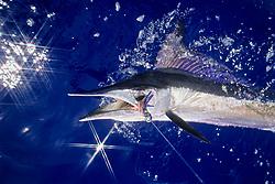 short-billed spearfish, Tetrapterus angustirostris, off Kona Coast, Big Island, Hawaii, USA, Pacific Ocean (dm)