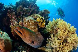 Gymnothorax javanicus, Korallenriff mit Riesenmuräne und Taucher, Giant moray eel, morayeel and scuba diver, Rotes Meer, Ägypten, Red Sea Egypt