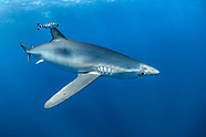Blue Shark (Prionace glauca)  - Azores - Portugal