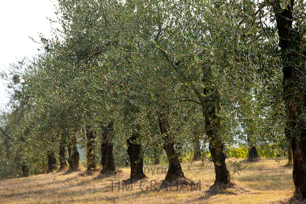 Olive grove of traditional olive trees in Val D'Orcia, Tuscany, Italy