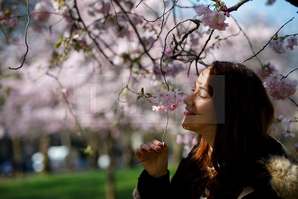 © Licensed to London News Pictures. 07/04/2015. LONDON, UK. Lisa Dollenmaier looking at cherry blossoms in St James's Park in London on Tuesday, 7 April 2015 as temperature hits 17C. Photo credit : Tolga Akmen/LNP