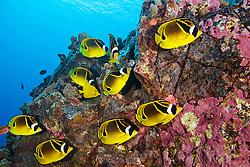 raccoon butterflyfish, Chaetodon lunula, Kona Coast, Big Island, Hawaii, USA, Pacific Ocean