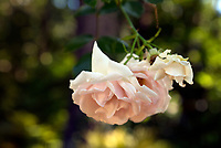 NC01340-00...NORTH CAROLINA - Rose in the Rose Garden at the Elizabethan Gardens , at popular tourist attraction in Manteo on Roanoke Island.