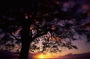Kiawe Tree at sunset, Lahaina, Maui<br />