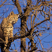 Bobcat (Lynx rufus) in a tree in the red rock country of Utah.  Captive Animal.