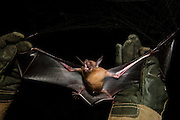 Lesser Bulldog or Fishing Bat (Noctilio albiventris) CAPTIVE<br />