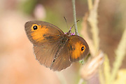 meadow brown (Maniola telmessia) Israel