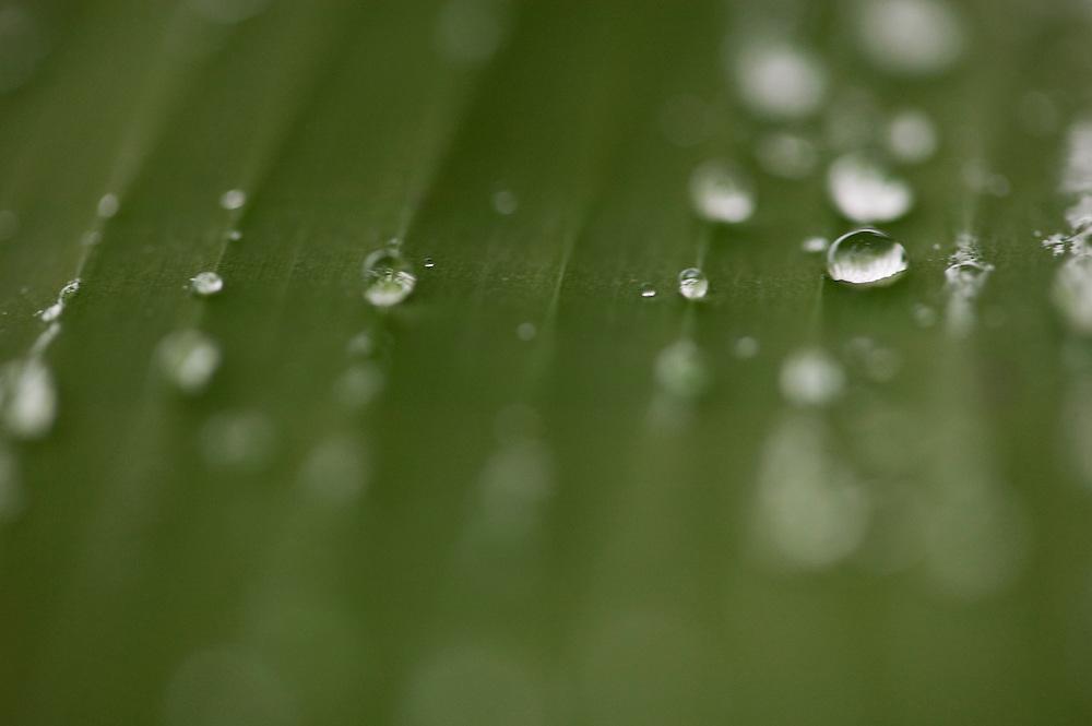 Fare, Huahine, French Polynesia, banana leaf detail, raindrops