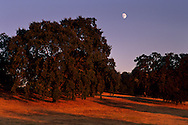 Moonrise at sunset over oak tree, Twisted Oak Vineyards, Murphys, Calaveras County, California