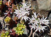 Sedum is the stonecrop genus of the Crassulaceae or orpine family. This bloom is on Big Quilcene Trail #833.1, near Marmot Pass in Buckhorn Wilderness, Olympic National Forest, Washington, USA.