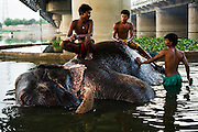 25th May 2014, Yamuna River, New Delhi, India. Elephant handlers scrub an elephant and chat as it bathes under a bridge in the Yamuna river in New Delhi, India on the 25th May 2014. The river is terribly polluted and deemed only fit for industrial cooling, the elephants cannot drink it<br /> <br /> Elephant handlers (Mahouts) eke out a living in makeshift camps on the banks of the Yamuna River in New Delhi. They survive on a small retainer paid by the elephant owners and by giving rides to passers by. The owners keep all the money from hiring the animals out for religious festivals, events and weddings, they also are involved in the illegal trade of captive elephants.The living conditions and treatment of elephants kept in cities in North India is extremely harsh, the handlers use the banned 'ankush' or bullhook to control the animals through daily beatings, the animals have no proper shelters are forced to walk on burning hot tarmac and stand for hours with their feet chained together. <br /> <br /> PHOTOGRAPH BY AND COPYRIGHT OF SIMON DE TREY-WHITE<br /> + 91 98103 99809<br /> email: simon@simondetreywhite.com photographer in delhi