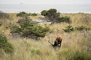 Bull Elk in field grazing on grass, Water in Background