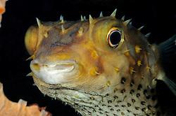 Cyclichthys spilostylus, Gelbflecken Igelfisch, Yellowspotted Burrfish, Tulamben, Bali, Indonesien, Indopazifik, Indonesia, Asien, Indo-Pacific Ocean, Asia