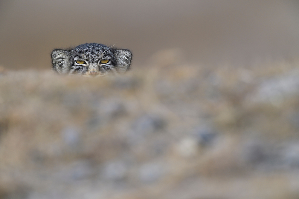 Pallas's cat (Otocolobus manul), also called the manul, in mountain landscape, Tibetan Plateau 5000 m asl, Qinghai, China