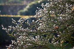 Furry buds of Magnolia stellata already forming in late autumn - Star magnolia
